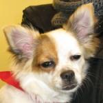 Chihuahua | 2014-02-05 20.21.02