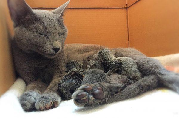 Begeleiding van de geboorte van uw nestje kittens bij Dierenarts De Laak in Amersfoort Vathorst.