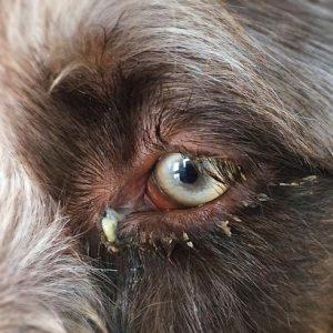 Prutoog of bindvliesontsteking bij de hond bij Dierenarts de Laak dierenkliniek in Vathorst Amersfoort.