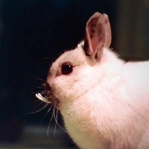 Chirurgisch verwijderen snijtanden en stifttanden konijn