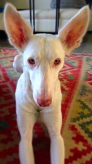 Narcose bij Greyhounds, Podenco's, Whippet, Ierse wolfshond, Afghaanse windhond en Sloughi bij Dierenarts De Laak dierenkliniek in Vathorst Amersfoort