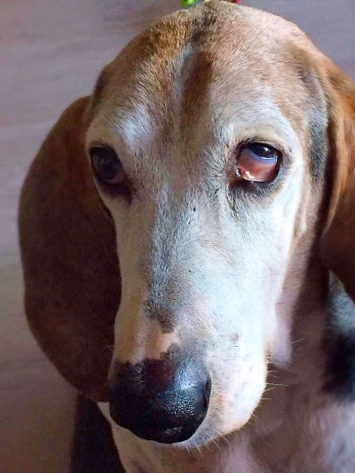 Horner Syndrome aan het linker oog bij een hond.
