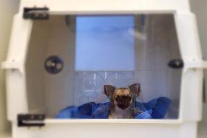 Sterilisatie of castratie van een hond (teef of reu) bij Dierenarts De Laak dierenkliniek in Amersfoort Vathorst.