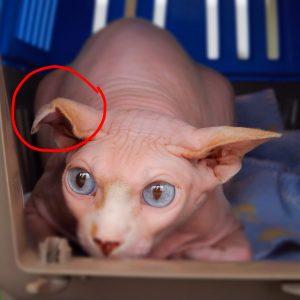 Othaematoom of othematoom of bloedoor bij de hond en kat bij Dierenarts De Laak dierenkliniek in Vathorst Amersfoort