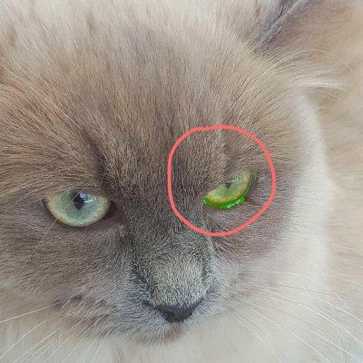 Fluo- of fluortest om cornea schades te detecteren bij Dierenarts De Laak dierenkliniek