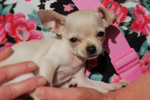 Vaccinatiepakket pup