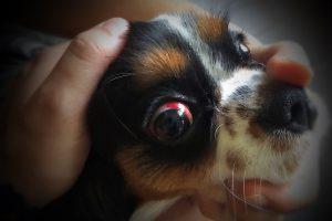 Subconjunctivaal hematoom bij de hond.
